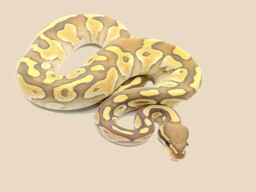 5 Loài rắn cảnh dễ nuôi nhất, bản tính hiền lành